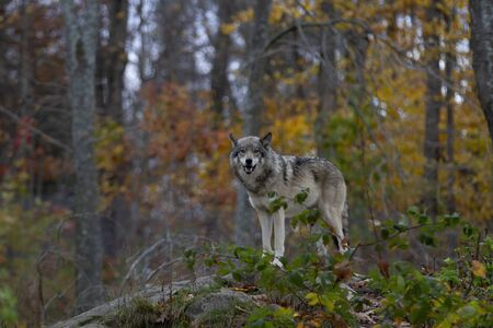 Timber wolf or Grey Wolf Canis lupus hunting in the forest in autumn in Canada