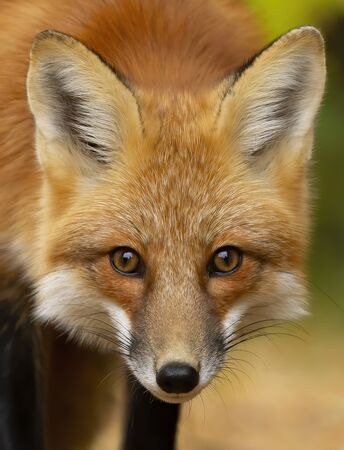 Red fox (Vulpes vulpes) closeup in pine tree forest with a bushy tail walking and looking back at my camera in the forest in autumn in Algonquin Park, Canada Stock Photo