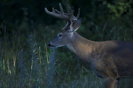 A wild White-tailed deer buck on an early morning with velvet antlers in summer in Canada Banco de Imagens