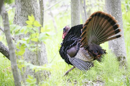 Eastern Wild Turkey male (Meleagris gallopavo) strutting through the forest in Canada