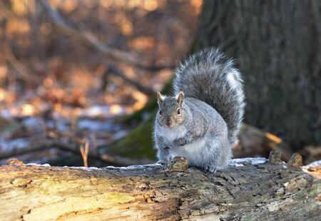 Beautiful fat Grey squirrel posing for me on the forest floor near the Ottawa river in Canada