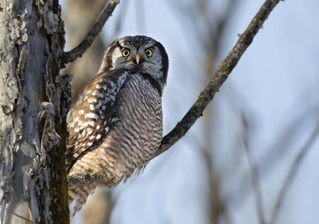 Northern Hawk-Owl (Surnia ulula) perched in a tree hunting in winter in Canada