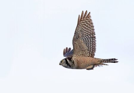 Northern Hawk-Owl (Surnia ulula) with captured vole in flight in winter in Canada