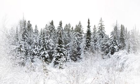 Trees in the forest covered with snow on a winter day in Canada