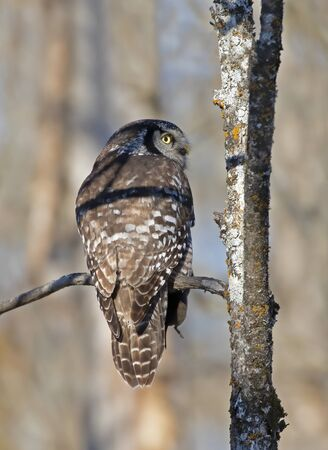 Northern Hawk-Owl (Surnia ulula) perched in a tree with a freshly caught vole in winter in Canada