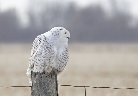 Snowy owl (Bubo scandiacus) perched on a wooden post at sunset in winter in Ottawa, Canada