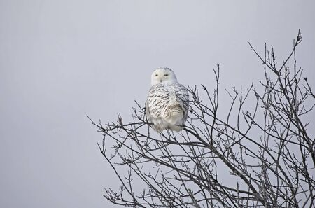 Snowy owl (Bubo scandiacus) female perched on top of a tree in winter in Ottawa, Canada Banco de Imagens