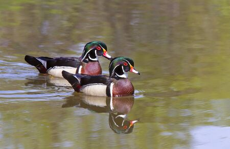 Wood ducks (Aix sponsa) swimming on Brewery Creek in Gatineau, Quebec in Canada