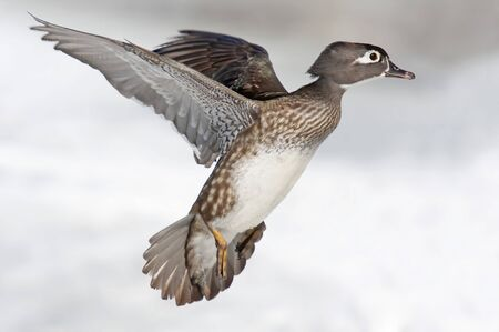 Wood duck female taking flight over the winter snow in Ottawa, Canada Фото со стока