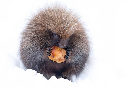 Baby Porcupine eating an apple in the winter snow in Ottawa, Canada Фото со стока