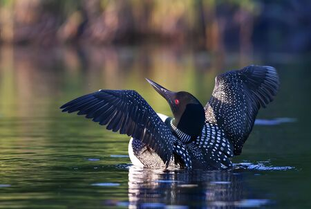 Common Loon drying her wings in the morning as she swims on Wilson Lake, Que, Canada