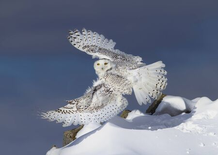 Snowy owl (Bubo scandiacus) isolated against a blue sky taking flight to hunt over a snow covered field in Ottawa, Canada