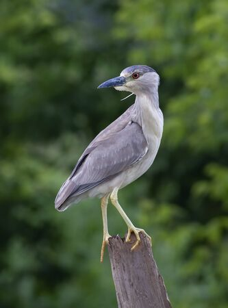 Black-crowned Night Heron (Nycticorax nycticorax) standing on a log hunting over a local pond in Ottawa, Canada