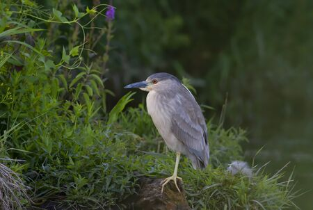 Black-crowned Night Heron (Nycticorax nycticorax) standing on one leg along the edge of a pond in Ottawa, Canada Фото со стока