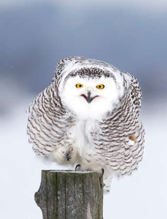 Snowy owl (Bubo scandiacus) isolated on blue background perched on a post hunting in winter in Ottawa, Canada