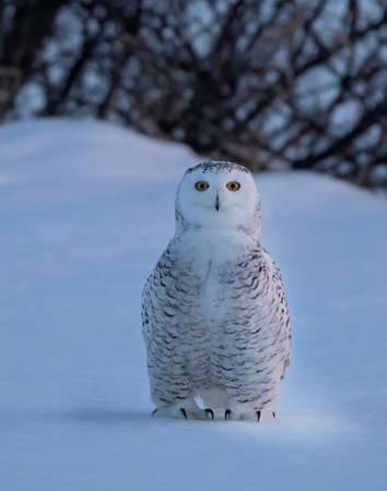Snowy owl (Bubo scandiacus) standing in middle of a snow covered field at the blue hour in Ottawa, Canada Banco de Imagens