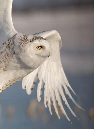 Snowy owl Bubo scandiacus closeup flies low over hunting an open snowy field in Canada Banco de Imagens