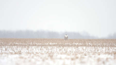 Snowy owl (Bubo scandiacus) standing in middle of a snow covered field at sunrise in Ottawa, Canada
