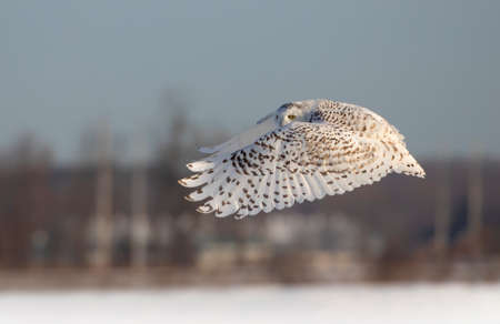 Snowy owl (Bubo scandiacus) hunting over a snow covered field in Ottawa, Canada