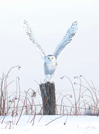 Snowy owl (Bubo scandiacus) taking off in flight hunting over a snow covered field in Ottawa, Canada Banco de Imagens