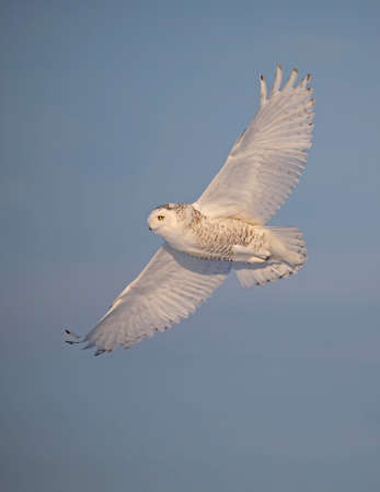 Snowy owl (Bubo scandiacus) hunting over a frozen snow covered field in Ottawa, Canada