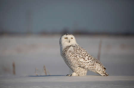 Snowy owl (Bubo scandiacus) standing in middle of a snow covered field in Ottawa, Canada
