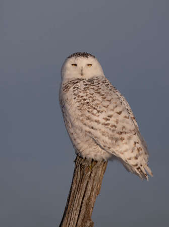 Snowy owl (Bubo scandiacus) isolated on blue background on post hunting in winter in Ottawa, Canada Standard-Bild
