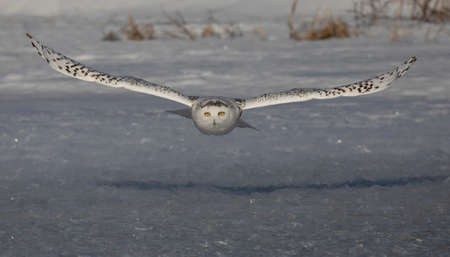 Snowy owl (Bubo scandiacus) hunting over a frozen snow covered field in Ottawa, Canada Stockfoto