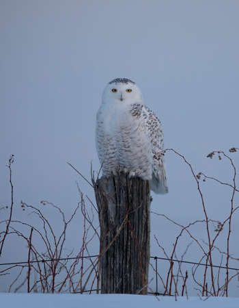 Snowy owl (Bubo scandiacus) isolated on blue background on post hunting in winter in Ottawa, Canada Banco de Imagens