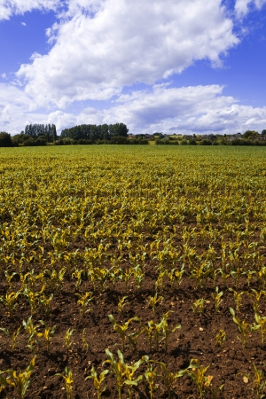 Crops on farmland in the countryside in a rural setting.