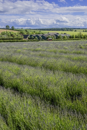 england gloucestershire the cotswolds snowshill lavender farm lavender fields Stock Photo - 16149397