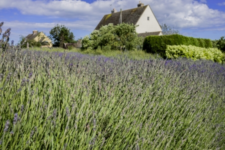 england gloucestershire the cotswolds snowshill lavender farm lavender fields photo