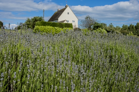 england gloucestershire the cotswolds snowshill lavender farm lavender fields Stock Photo - 17333043