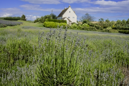 england gloucestershire the cotswolds snowshill lavender farm lavender fields Stock Photo - 17267465