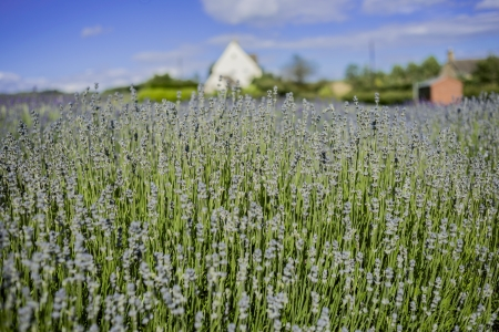 england gloucestershire the cotswolds snowshill lavender farm lavender fields Stock Photo - 17332786