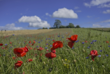 poppies and wild flowers growing in a field