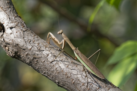 Brown Chinese Preying Mantis Sitting on a Branch