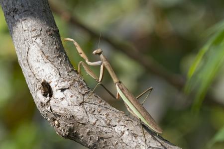 Brown Chinese Preying Mantis Walking Up a Branch