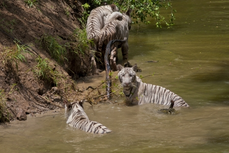 Family of 4 young White Bengal Tigers playing in a River Stock Photo
