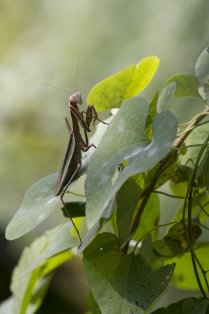 Brown Chinese Preying Mantis on a Leaf Stock Photo - 18380547