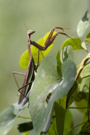 Close Up of a Brown Chinese Praying Mantis Walking Up Vine Leaves