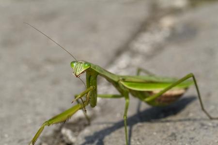 Close Up of a Green Chinese Praying Mantis Preening Itself Stock Photo