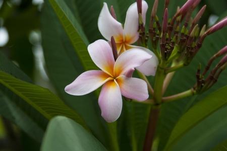 Macro of a Pink Plumeria Flower