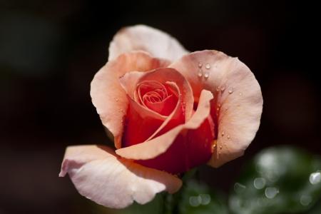 Close Up of a Pink Rose after a Light rain