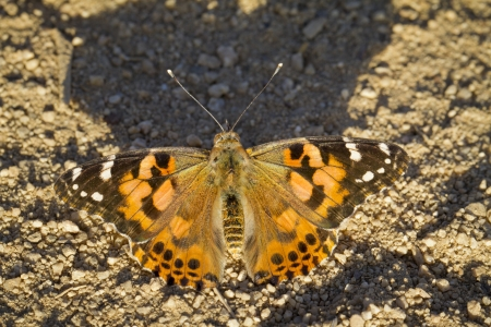 Macro of a Painted Lady butterfly in the afternoon sun Stock Photo