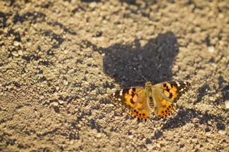 Painted Lady butterfly in the afternoon sun