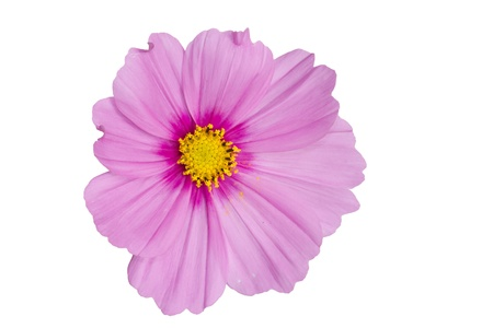 Pink Cosmo Flower Isolated on White