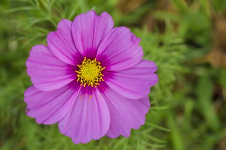 Macro of a Pink Cosmo Flower Stock Photo