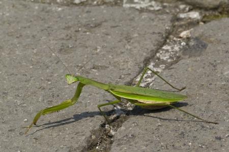 Preying Mantis Walking Across a Road