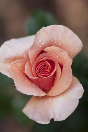 Macro of a Pink Rose after a light rain Stock Photo
